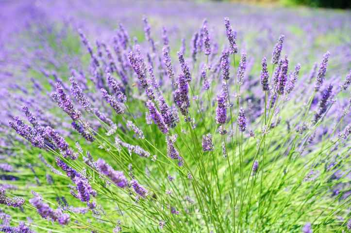 close up photo of lavender growing on field